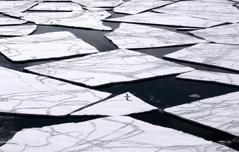 Adelie penguin standing on a piece of broken sea ice.