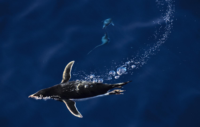 Adelie penguin swimming underwater.