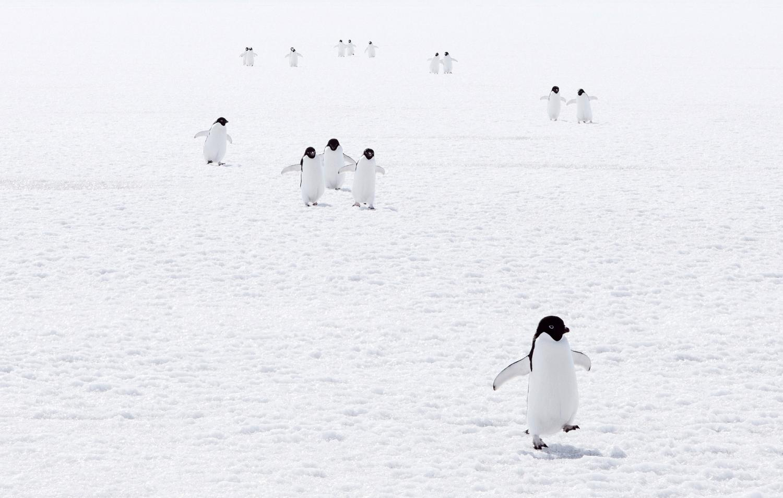 Adelie penguins walking on ice.