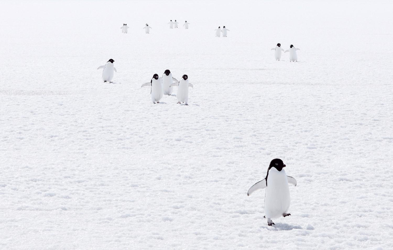 penguins walking on ice