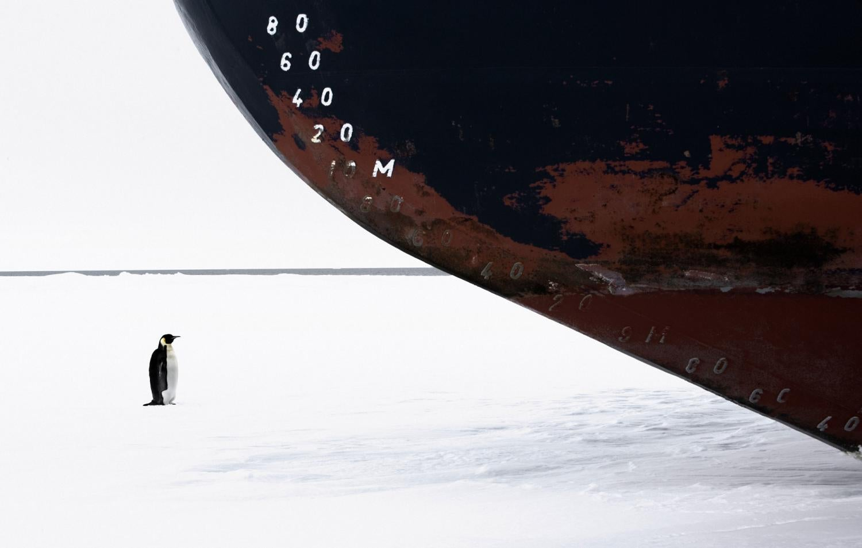 Emperor penguin standing in front of icebreaker ship.