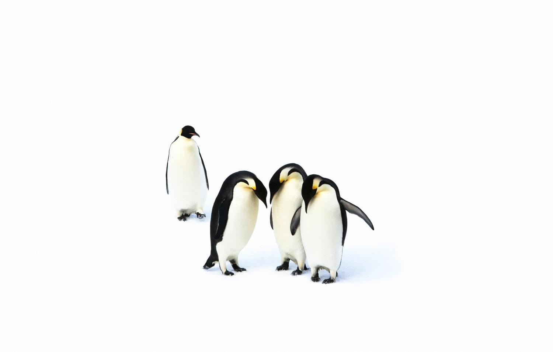 Five emperor penguins huddled together.