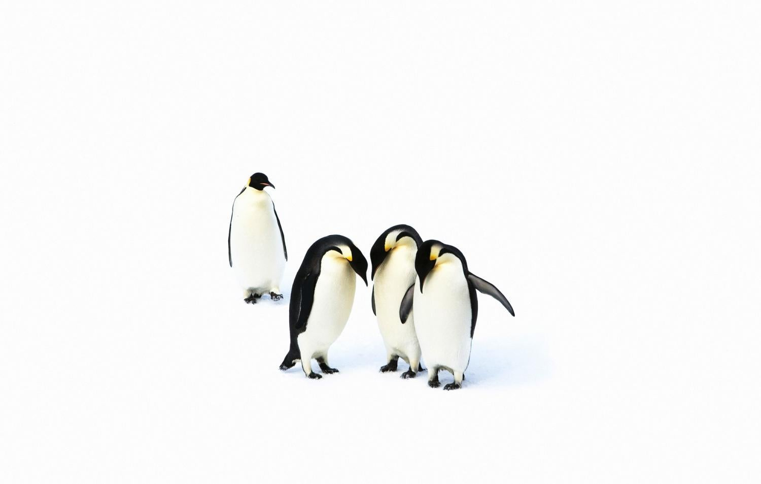 penguins huddling on ice
