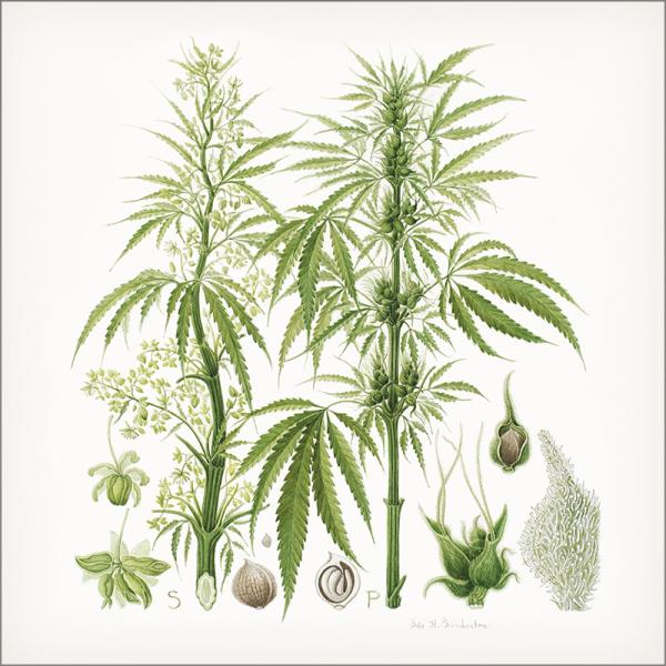 Watercolor illustration of cannabis plant