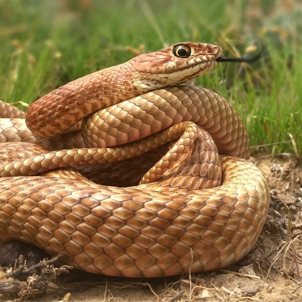coachwhip coiled with black tongue flickering