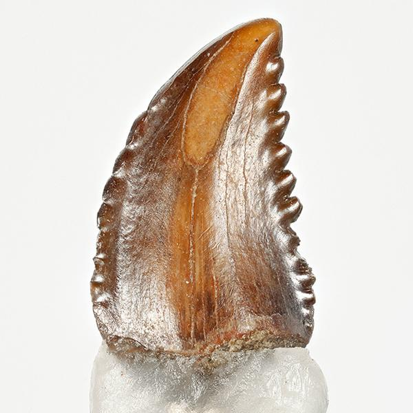 Light brown troodon tooth with jagged edges