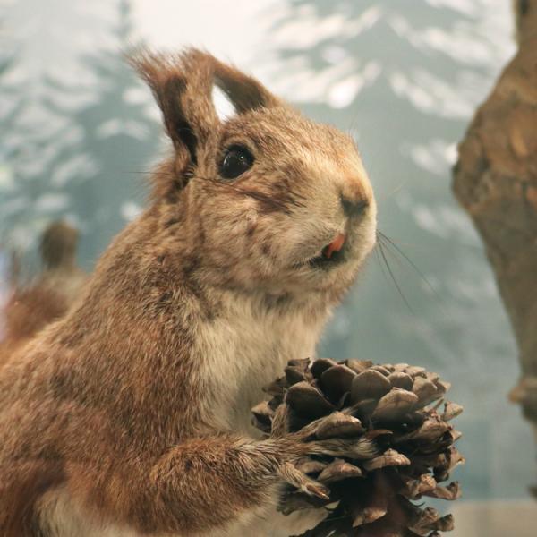 Squirrel specimen with pinecone