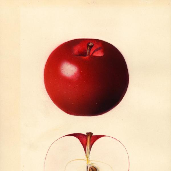 McIntosh Summerland Red (1931)