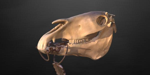horse skull with bridle bit