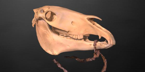 horse skull with rawhide reins