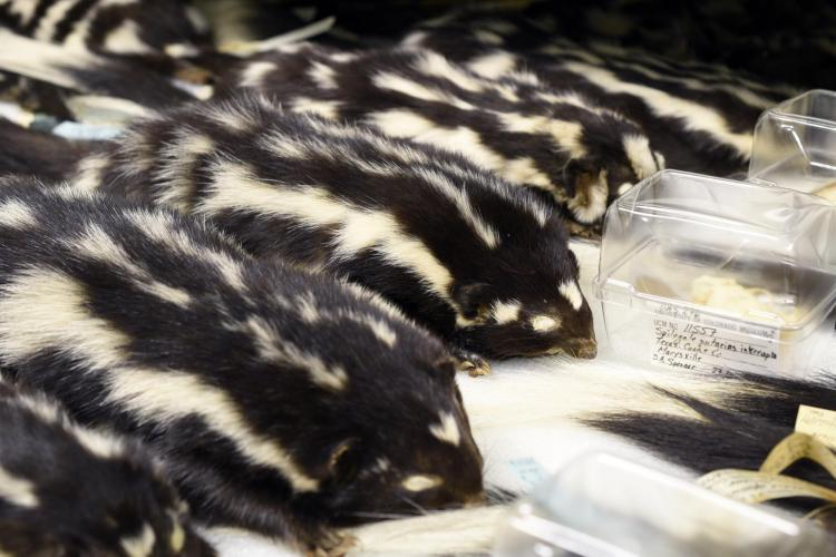 stuffed skin of spotted skunk in collection drawer