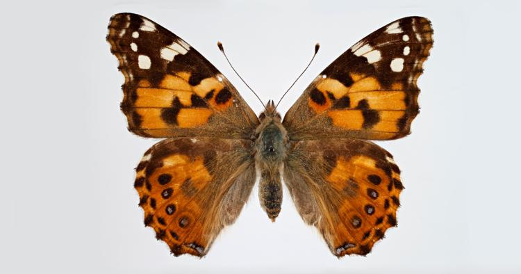 painted lady butterfly specimen