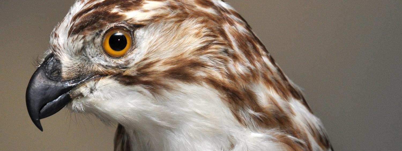 Hawk specimen