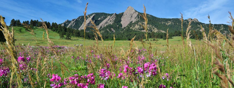 wildflowers near flatirons