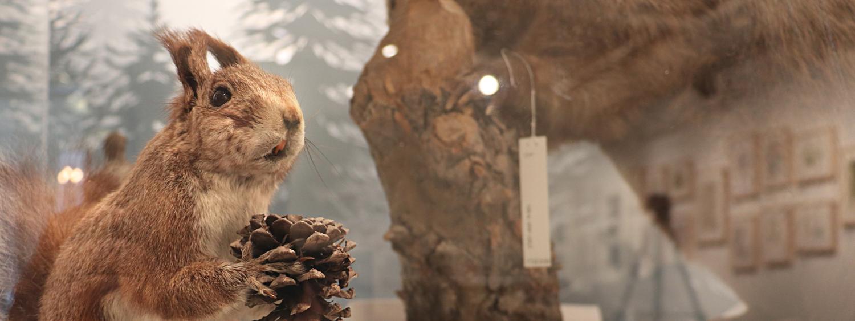 Squirrel specimen in case