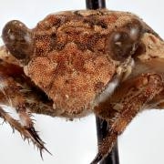 brownish orange bug with a face resembling a toad