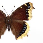 Top view of butterfly with wings, spread widely reveals a dark brown body, hairs antennae and mostly dark wings, highlighted by yellow, fringed tips and some iridescent blue markings.