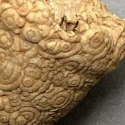 Fossilized coral in cone shape with small circle surface pattern
