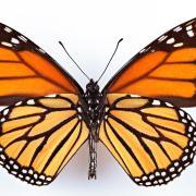Monarch butterflly view from underside