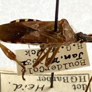 Ovoid brown bug with long antennae