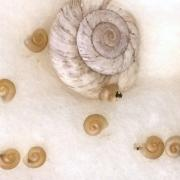 Two large shells, coiling counterclockwise, sit amongst seven snail embryos on a cotton sheet.