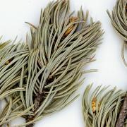 pressed pinion pine needles with pinecone