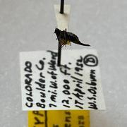 colorado snow flea