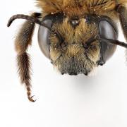 Morning Glory Bee