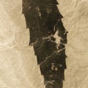 Jagged leaf fossil