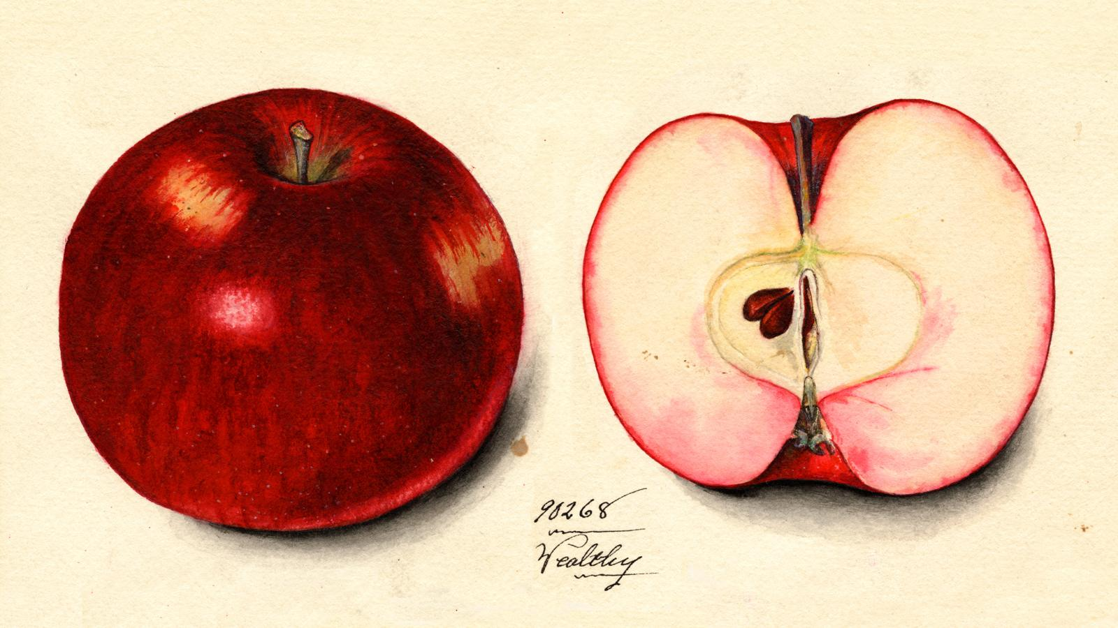 illustration of wealthy delicious apple