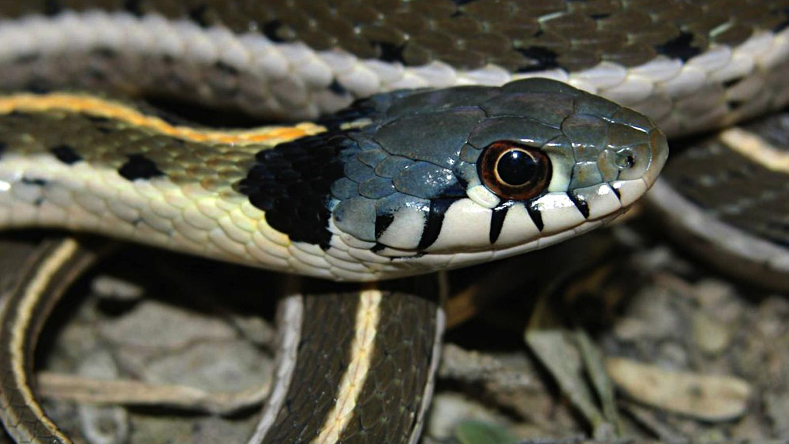 Blackneck Garter Snake