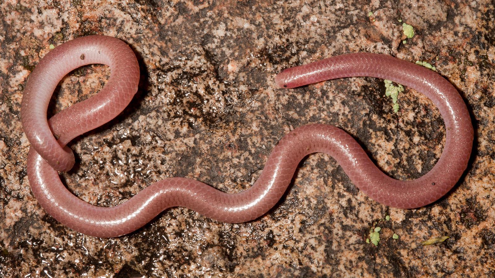 Texas Blind Snake