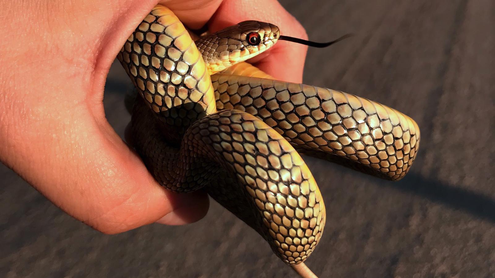 eastern yellow snake