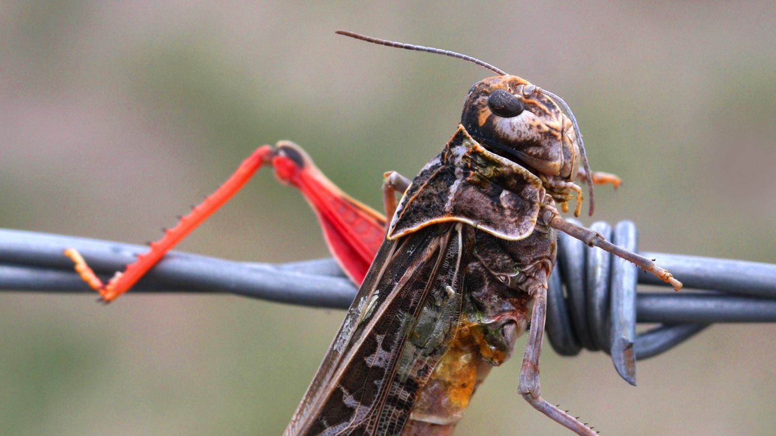 Redshank Grasshopper