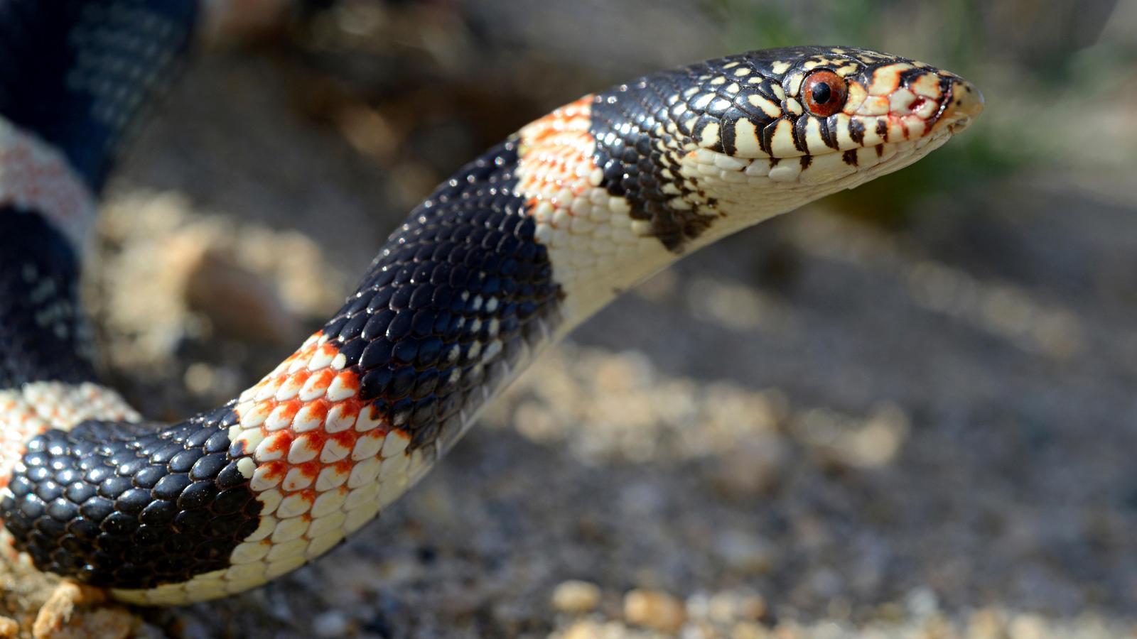 Longnosed snake