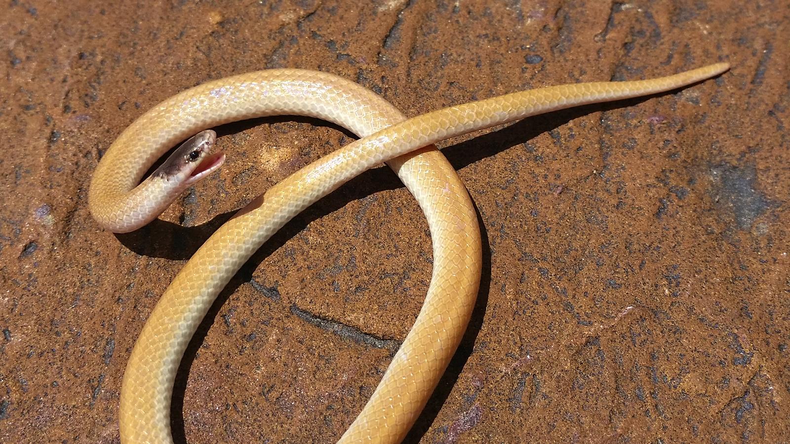 Plains Black-Headed Snake