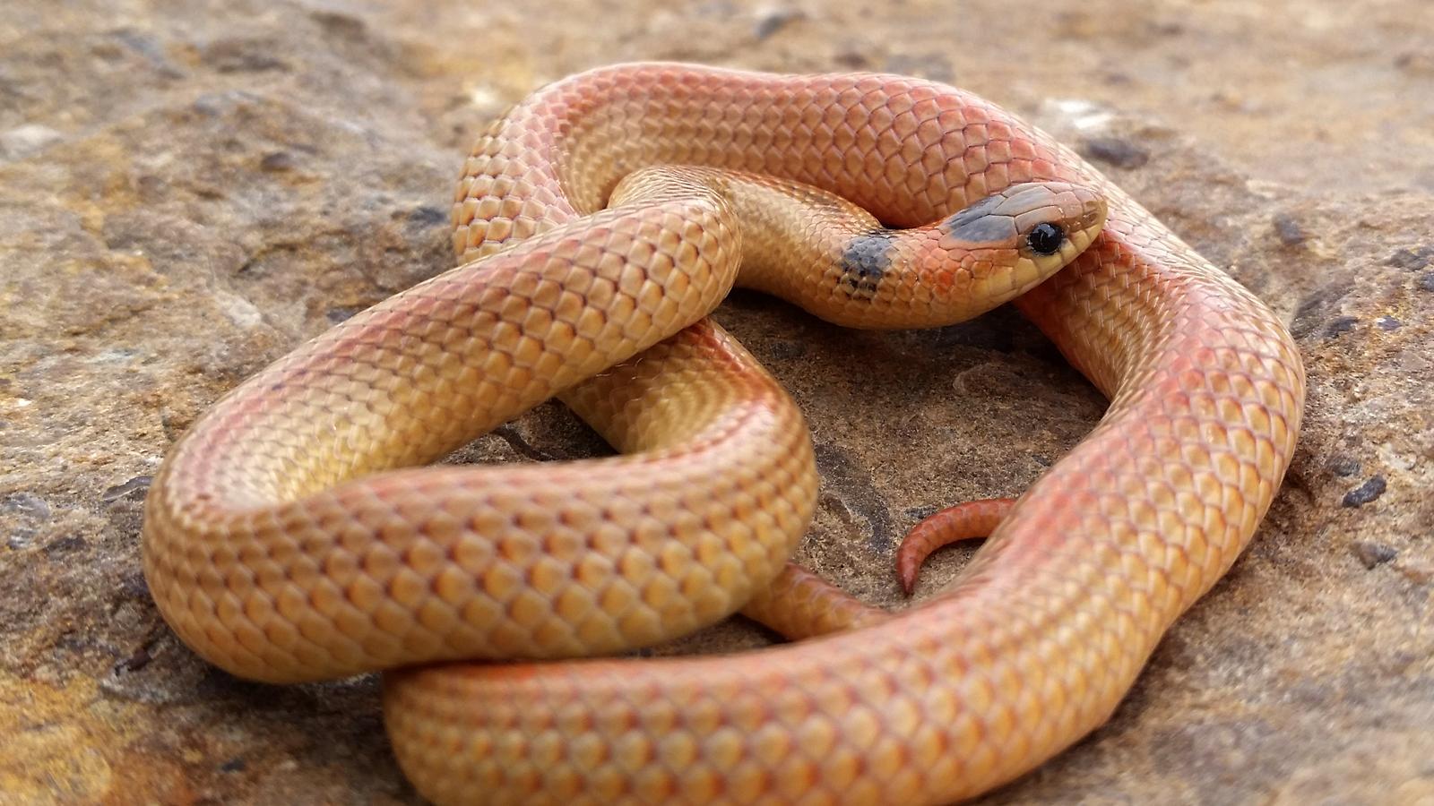 Variable Ground Snake