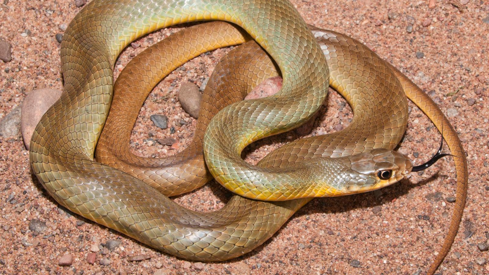 yellow belly racer