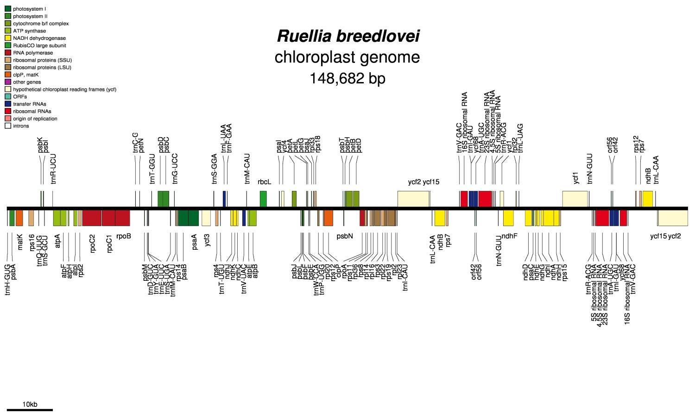 Ruellia breedlovei chloroplast genome