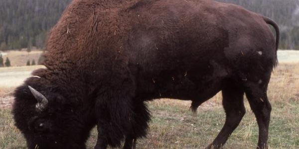 Photo of a bison.