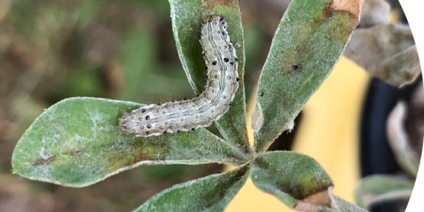 caterpillar branching the distance of two green leafs