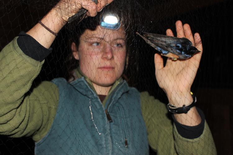 Amanda Hund, examining a barn swallow, captured in a net