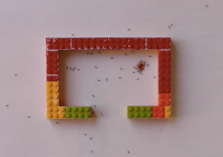 Longhorn Crazy Ants carry a morsel of food around a horseshoe-shaped Lego obstacle.