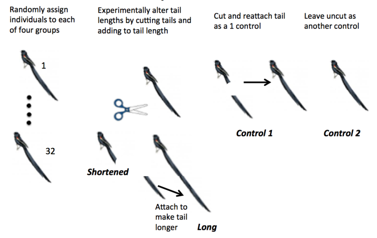 Student cartoon of experimental design to study the effect of widow bird tail length on reproductive success of males