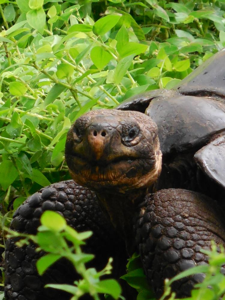 Photo of a large Galapagos turtle.