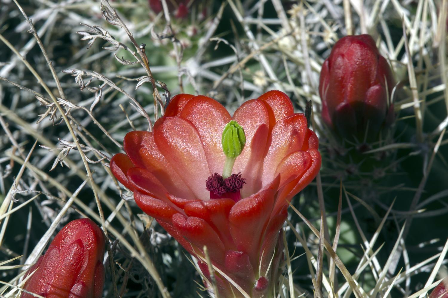 claret cup cactus - photo by jeff mitton