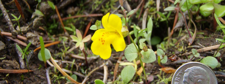 M. guttatus flowering