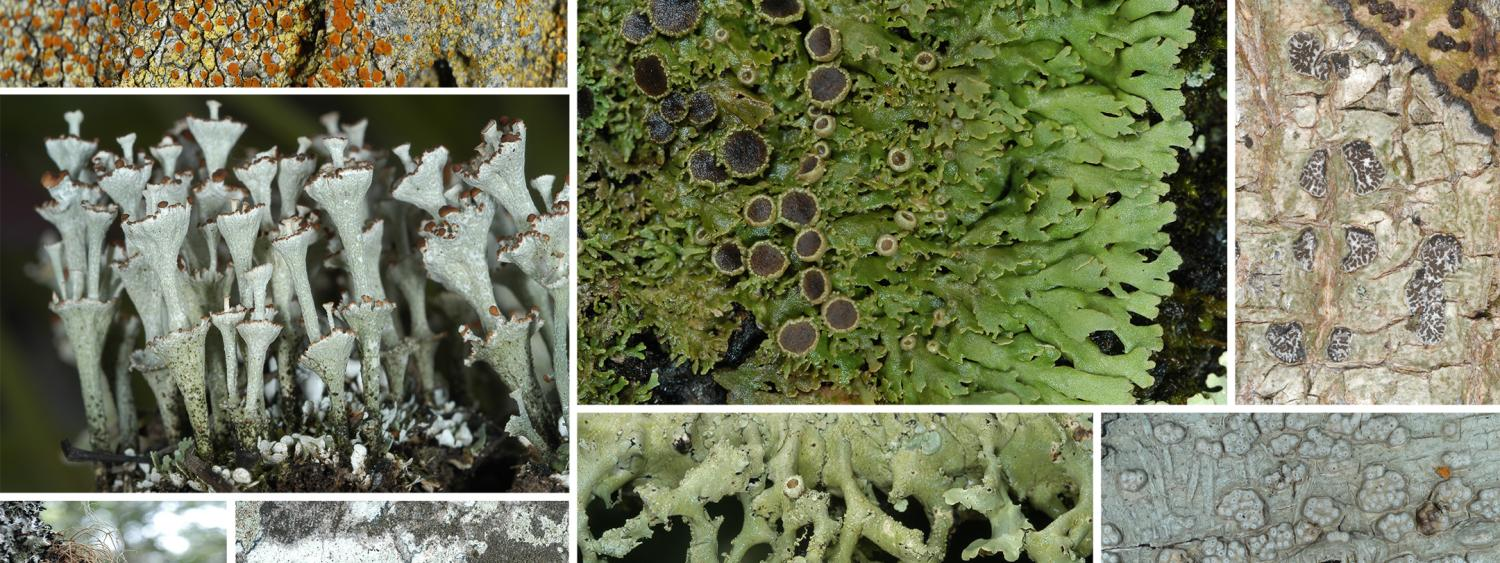 several plates of lichen showcasing its diversity