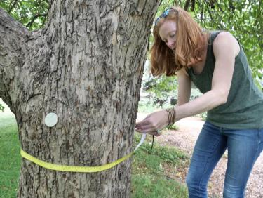 Lisa Corwin measures an apple tree on the CU Boulder campus.