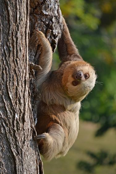 Photo of a curious looking sloth.